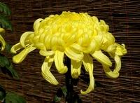 Chrysanthemum_morifolium_november_2