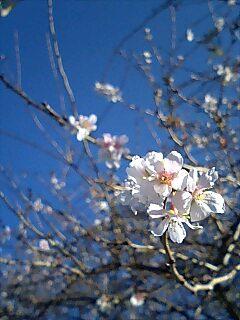 桜の花が咲いてます