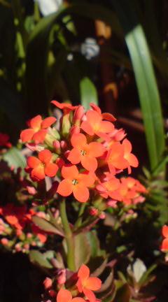 今日の花(室内)